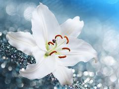 Lily flower on blue background with bokeh effects. Stock Photos