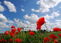 Red poppies with blue coudy sky Stock Photos