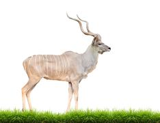 male greater kudu isolated - stock photo