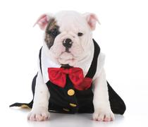 Male puppy in tux Stock Photos
