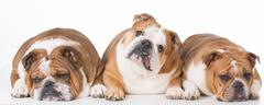 three bulldogs laying down - stock photo