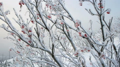 Stock Video Footage of Clusters of rowan berries covered with snow