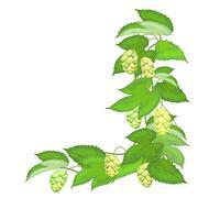 Branch of hops on white background Stock Illustration