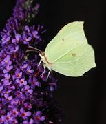 Brimstone butterfly on a lilac flower - stock photo