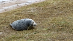 Grey Seal Pup Suckling / Feeding, Stock Footage