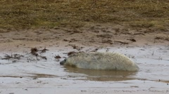 Grey Seal Pup in Grass Dune. Arkistovideo