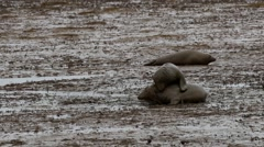 Grey Seals Fighting. On Sandy Beach When Tide is Out. Stock Footage
