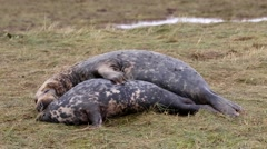 Grey Seal Cow and Bull Cuddling and  Mating. Stock Footage