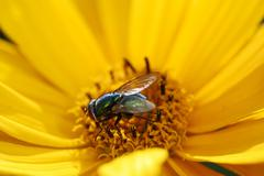 Fly on a yellow marguerite flower Stock Photos