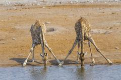 Two giraffes in the Etosha N.P., Namibia Stock Photos