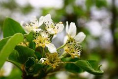 Flowering pear Stock Photos
