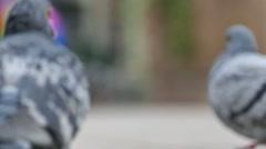 Pigeon walking through the frame Stock Footage