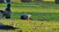 Ravens basking in the grass Stock Footage