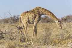 Giraffe in the Etosha N.P., Namibia Stock Photos
