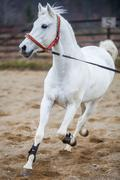 Running white horse - stock photo