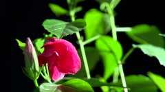 Timelapse of flower blooming on black background Stock Footage