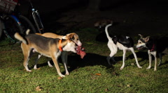 Dogs playing in the garden at night Stock Footage