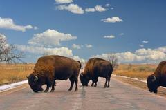 American Bison Buffalo Block a Road Kuvituskuvat