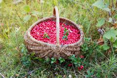 Lingonberry in a basket on a forest clearing Stock Photos