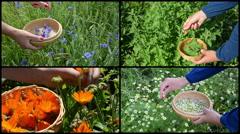 Hand gather cornflower mint marigold herb plants. Video collage Stock Footage