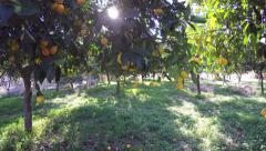 Orange Grove Trees Stock Footage