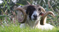 Closeup sheep with curved horns Stock Footage