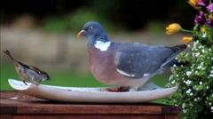 Closeup dove and sparrow, bird seed, texture Stock Footage
