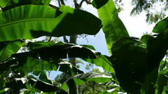 Coffee plantation with banana trees Stock Footage