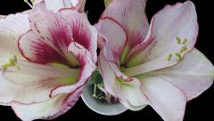 Stock Video Footage of Time-lapse of opening amaryllis Picotee in RGB + ALPHA matte format, top