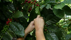 Coffee plantation Selva Negra, picking beans Stock Footage
