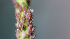 Stock Video Footage of  Aphids on the stem of a plant