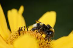 Bumble bee on a yellow marguerite flower Stock Photos