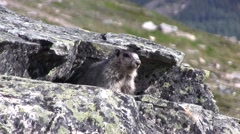 Hoary Marmot looking around on rock. Stock Footage