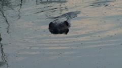 American Beaver swim in lake late evening - stock footage