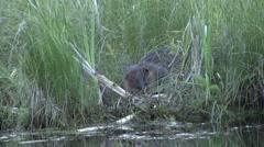 American Beavers feeding in reed. - stock footage