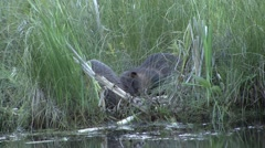 American Beavers feeding in reed. Stock Footage
