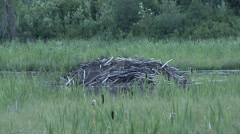 American Beavers lodge Stock Footage
