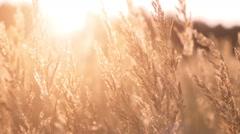 Swinging yellow grass in sunset light Stock Footage