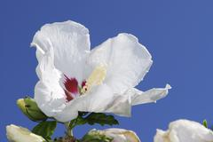 Macro of a white hibiscus blossom - stock photo