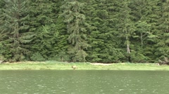 Grizzly Bear female feeding in high grass with two cubs filmed from boat Stock Footage