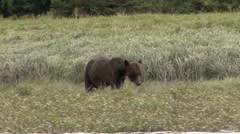 Grizzly Bear walk on shore. Stock Footage