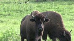 Plains Bison female looking Stock Footage
