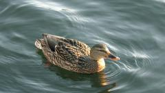 Duck floating Stock Footage