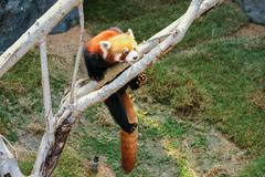 Red panda climbing on tree Stock Photos