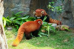 Two cute red pandas eating bamboo - stock photo