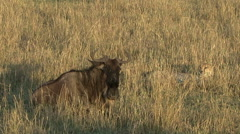 A cheetah rests next to a wounded wildebeest - stock footage