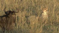 A cheetah becomes attentive next to a wounded wildebeest - stock footage