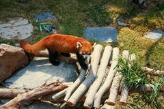 Red panda walking - stock photo