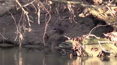 Mink walking on river bank Stock Footage