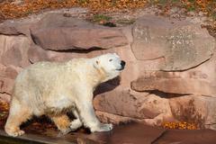 Polar bear - Ursus maritimus - stock photo